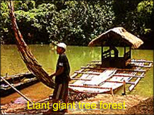 Liant-giant-tree-forest